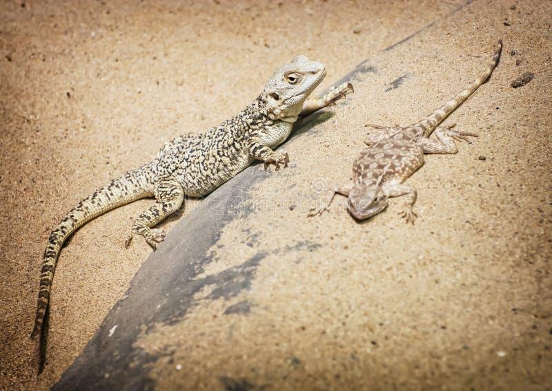Центральные бородатые дракон и агама степи стоковая фотография rf