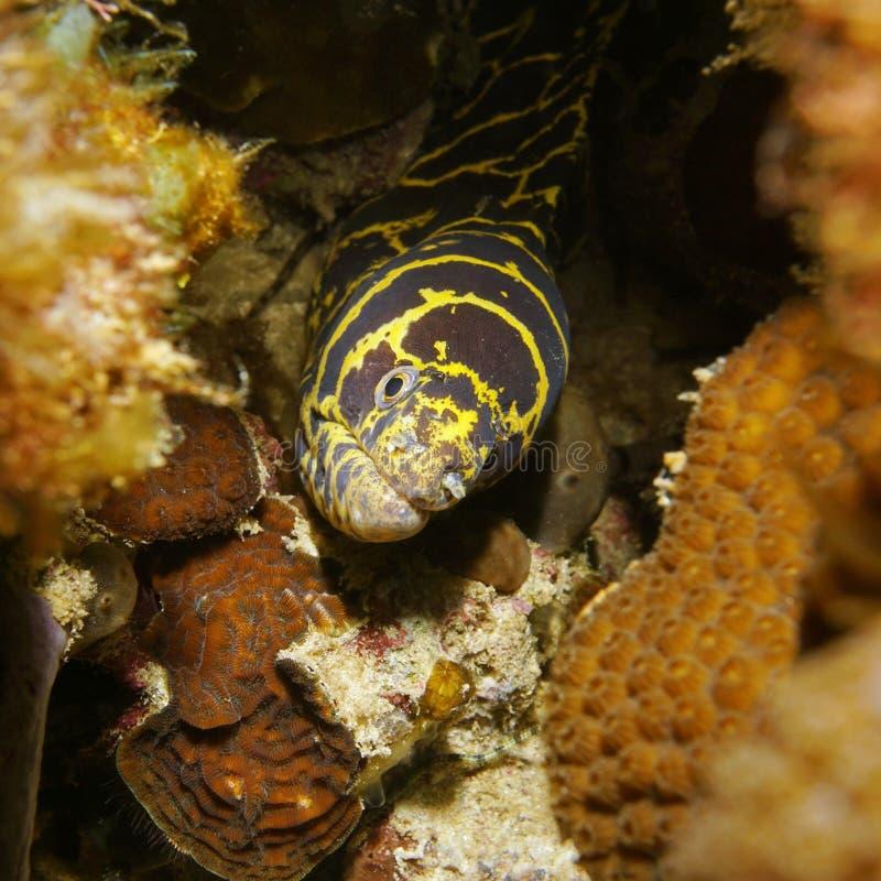 Цепной underwater головы угря мурены спрятанный в отверстии стоковая фотография
