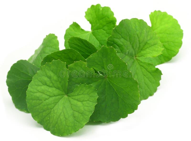 Целебные листья thankuni стоковые изображения