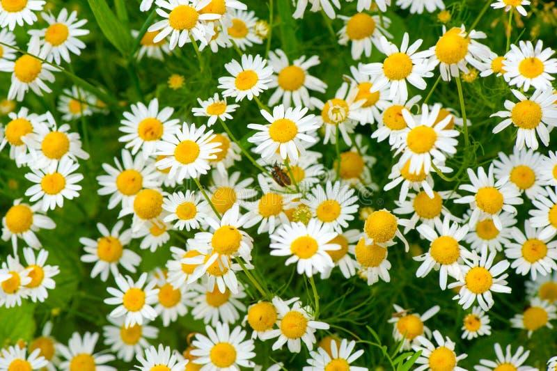 Целебный стоцвет травы стоковые фото