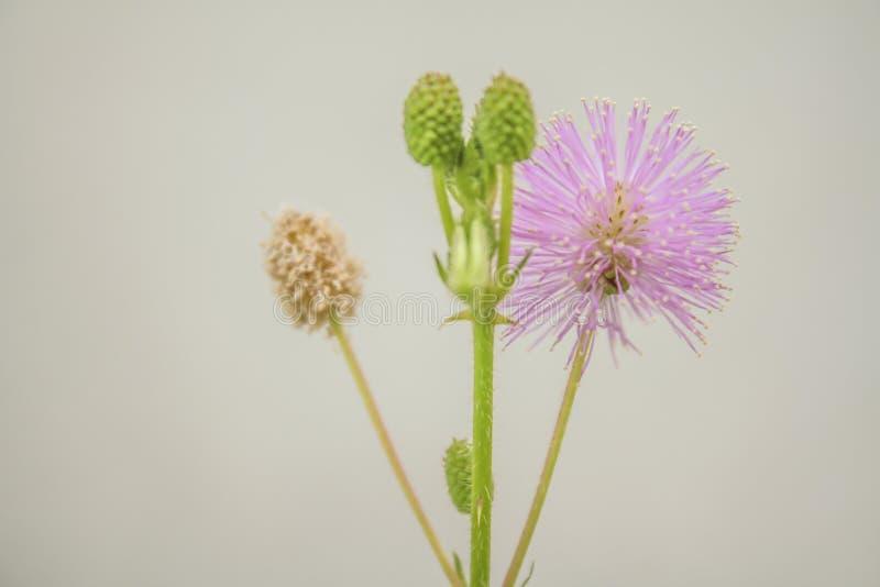 Целебный цветок pudica мимозы на белой предпосылке стоковая фотография rf