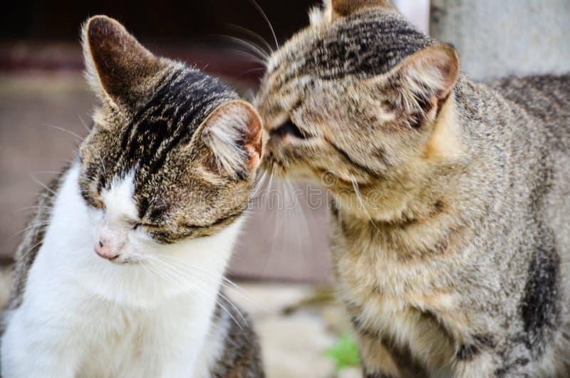 Целовать котов стоковая фотография rf