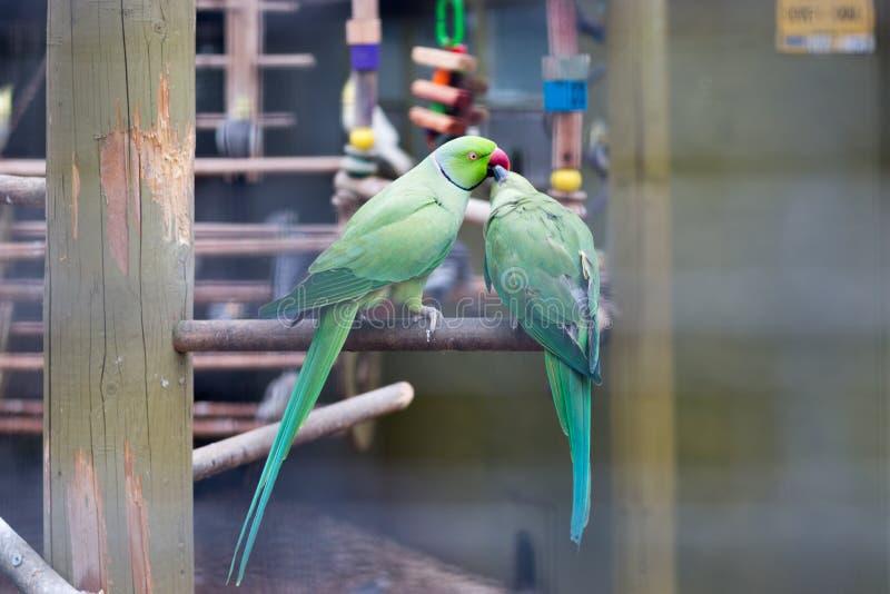 Целовать попугаев стоковые фотографии rf