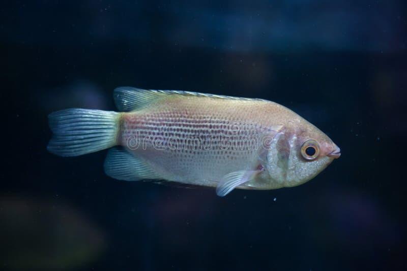 Целующ осфронемовых (temminckii Helostoma), также известных как kissin стоковое изображение