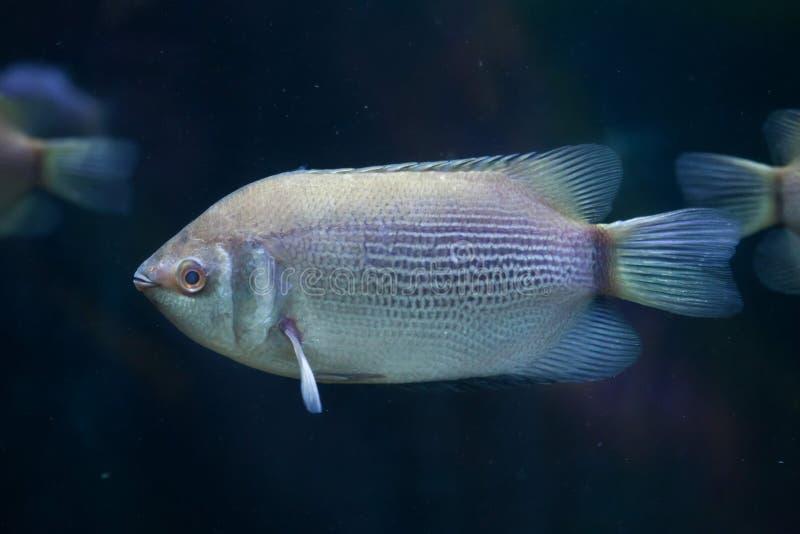 Целующ осфронемовых (temminckii Helostoma), также известных как kissin стоковое изображение rf