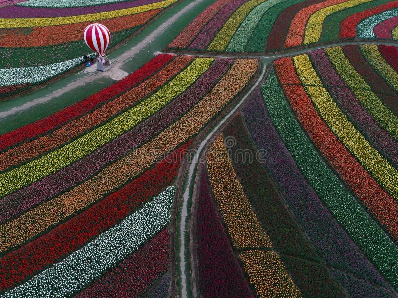 Цзянсу yancheng: воздушное фотографирование 30 миллионов тюльпанов в Нидерландах отравляет стоковое изображение rf