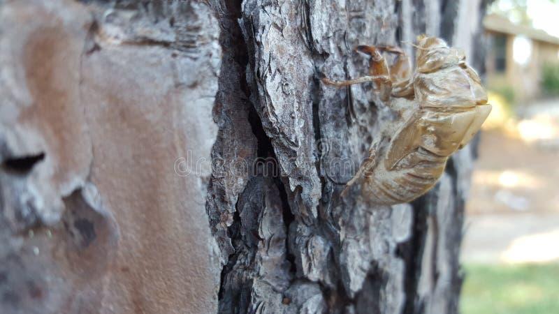 Цикада линяет на угле сосны бортовом золотом стоковые изображения