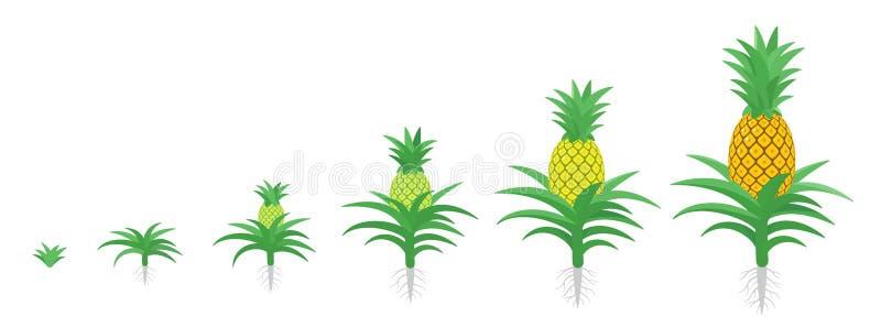 Цикл роста ананаса Тропический завод со съестным плодом Набор участков ананаса Период comosus ананаса зрея Жизнь бесплатная иллюстрация