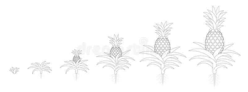 Цикл роста ананаса Тропический завод со съестным плодом Набор участков ананаса Период comosus ананаса зрея Жизнь иллюстрация вектора