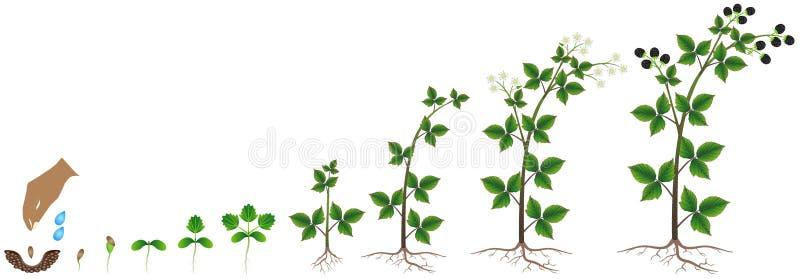 Цикл роста семени ежевики на белой предпосылке бесплатная иллюстрация