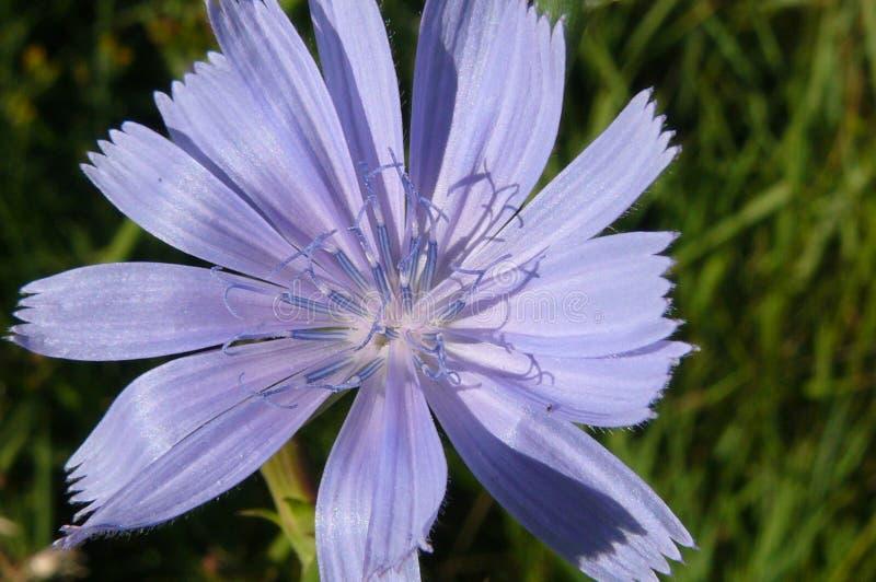 Цикорий с нежными голубыми цветками стоковая фотография rf