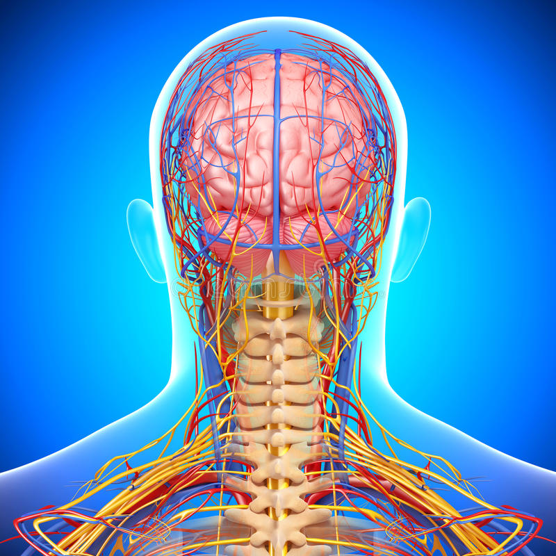 Циркуляторная и слабонервная система мозга иллюстрация вектора