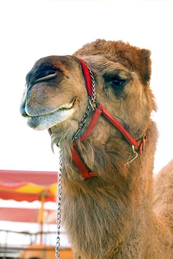 цирк верблюда стоковые фото