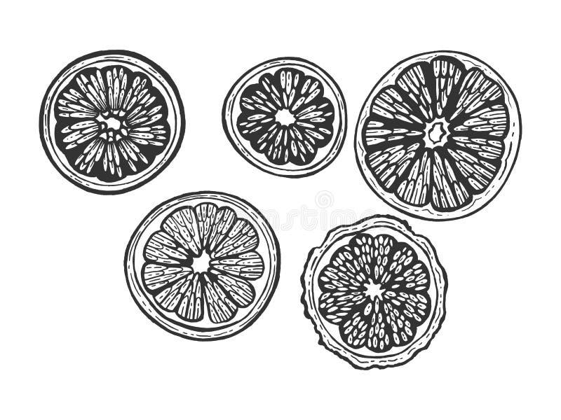 Цитрусовые фрукты отрезают установленный вектор гравировки эскиза иллюстрация штока