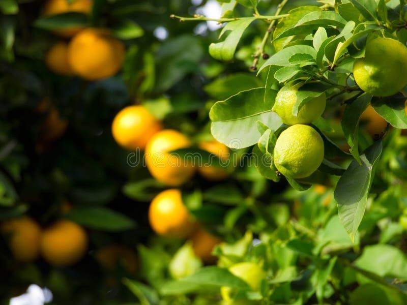 цитрусовые фрукты стоковая фотография rf