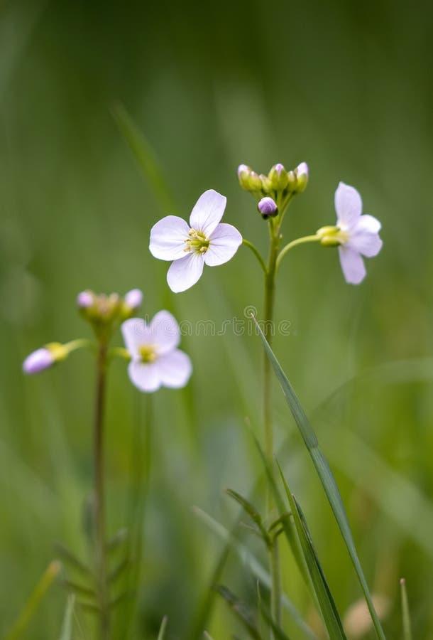 Цукутуры цветут весной стоковое фото