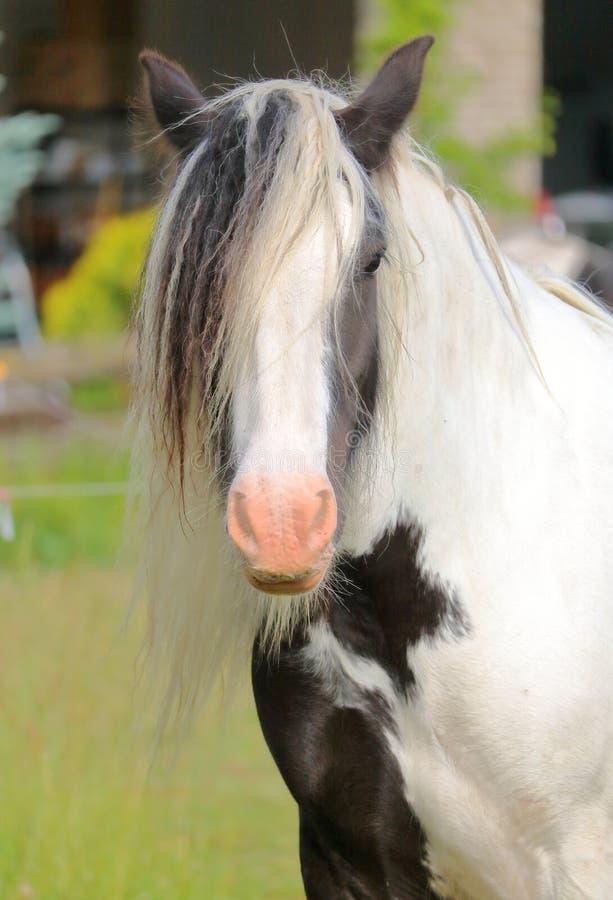 Цыганская или ирландская лошадь удара стоковое фото rf