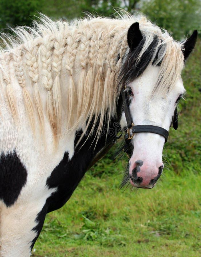 цыганская лошадь стоковые фото