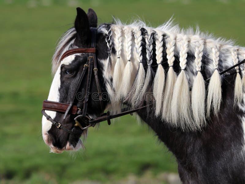 Цыганская лошадь стоковое фото
