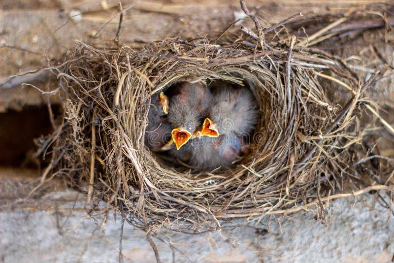 Цыпленоки в гнезде прося еда Птицы wildlife стоковые изображения rf