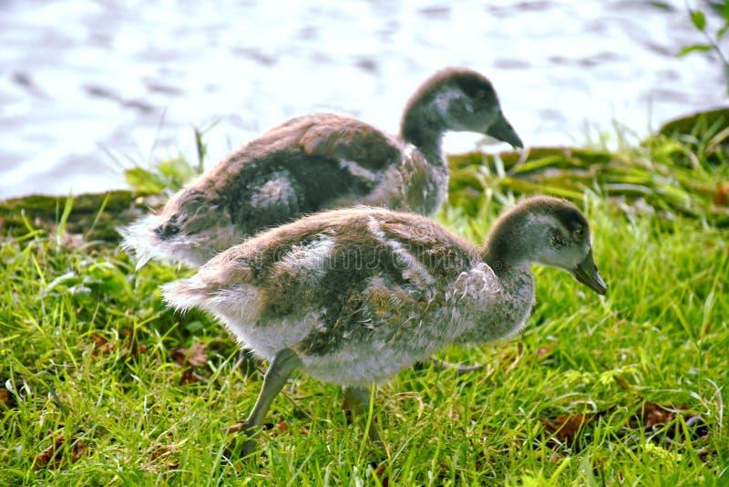 Цыпленоки гусынь Канады рекой Темзой стоковое фото rf