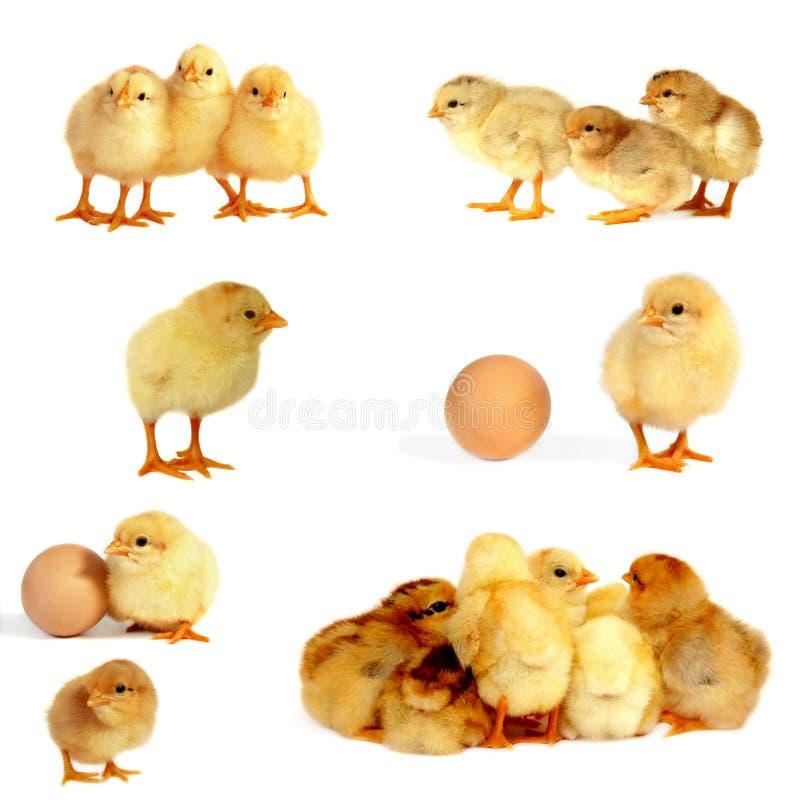 цыпленоки изолировали белизну стоковое фото