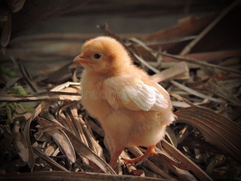 цыпленоки милые стоковое фото rf