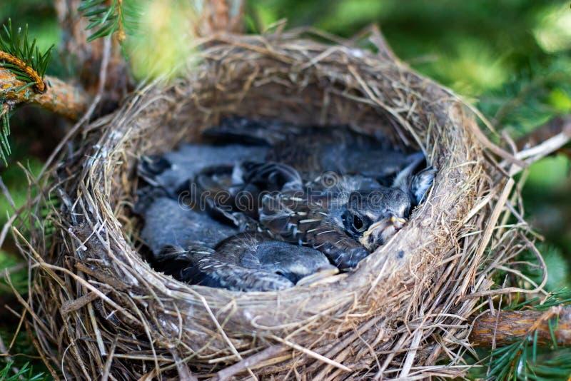 Цыпленоки молочницы в гнезде на цыпленоках дерева в гнезде на конце ветви дерева вверх весной в солнечном свете стоковая фотография rf