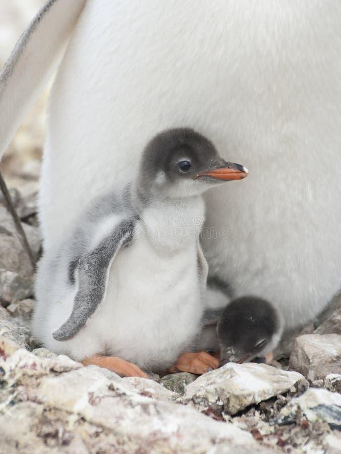 Цыпленоки пингвина Gentoo в гнезде. стоковые фото