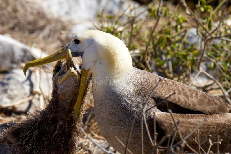 цыпленок альбатроса подавая galapagos стоковая фотография