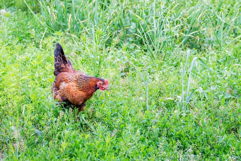 Цыпленок Брауна ищет еда в саде фермы среди толстой травы Space_ экземпляра стоковые фотографии rf