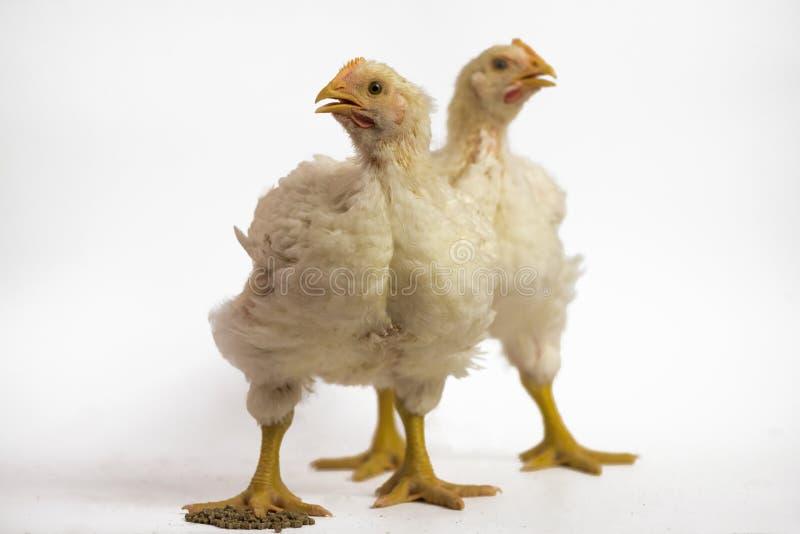Цыпленок бройлера 2 21 день старый на белизне стоковое фото
