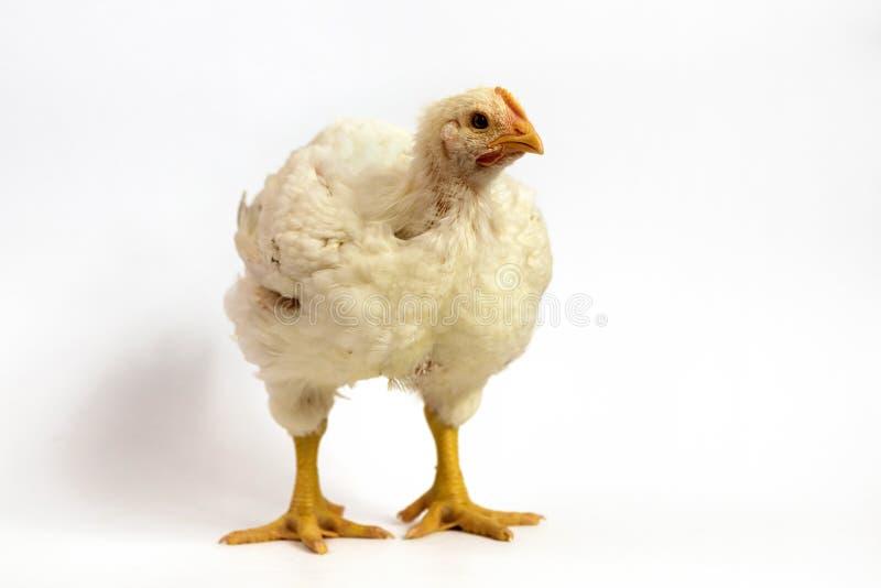 Цыпленок бройлера 30 дней старых на белизне стоковые изображения rf