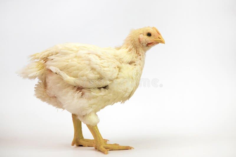 Цыпленок бройлера 21 старая дней изолированная на белизне стоковое изображение rf