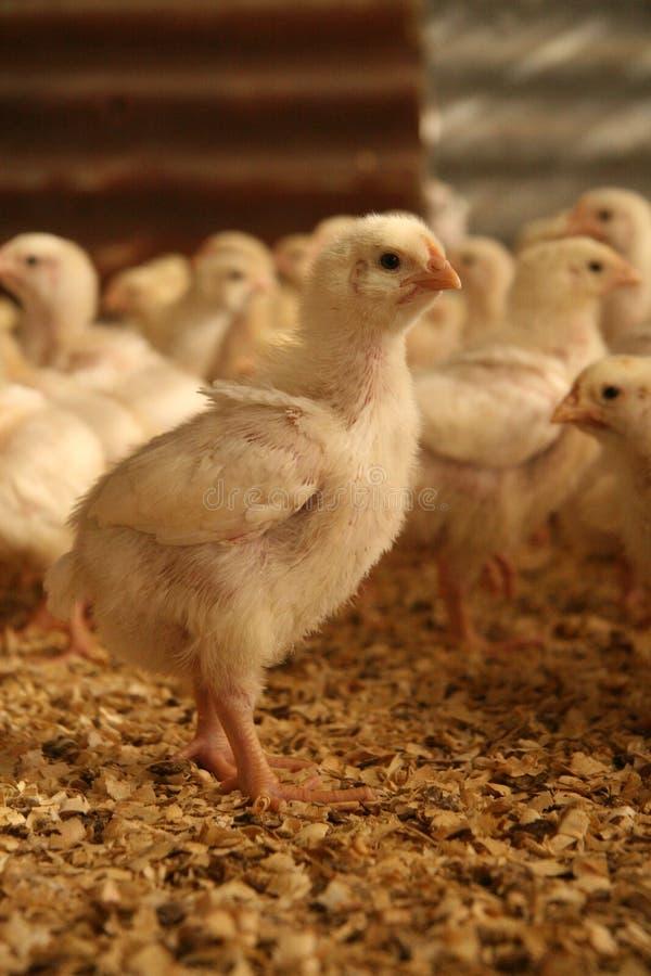 цыпленок бройлера стоковое фото rf