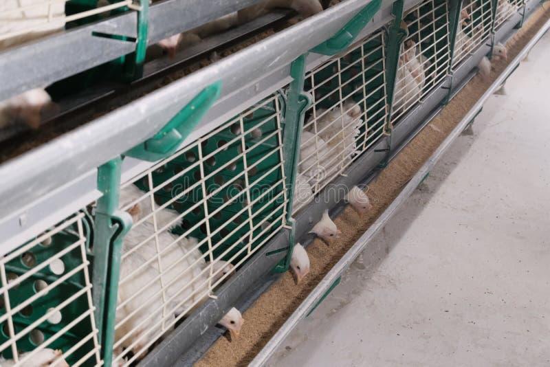 Цыпленок в доме, есть зерно в фидере Еда для птиц на птицеферме Инкубатор для клетки птицы для цыплят стоковые фотографии rf