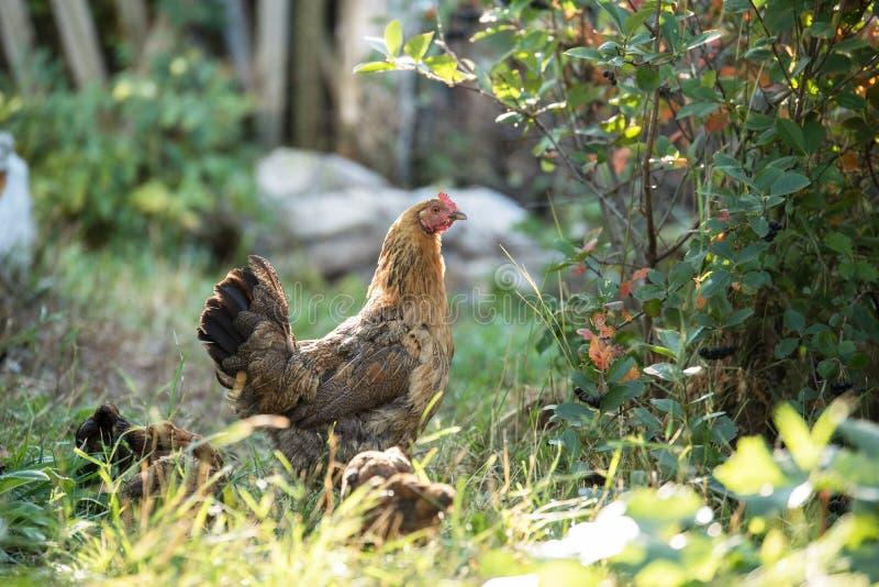 Цыпленок и цыпленоки идут в летний день среди травы стоковые фото