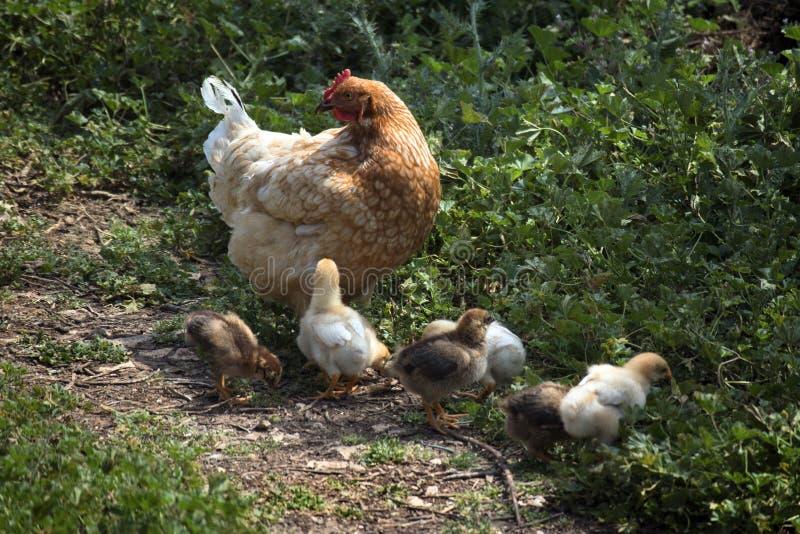 Цыпленок и цыпленок стоковое изображение