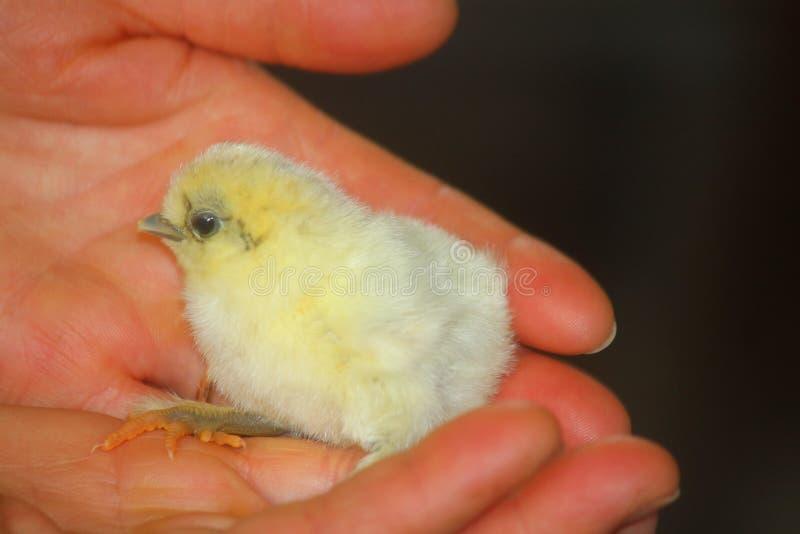 Цыпленок как раз принесенный на ладони рук стоковые изображения rf