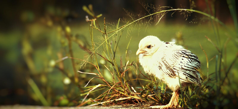 цыпленок когда погода холодна стоковое изображение rf