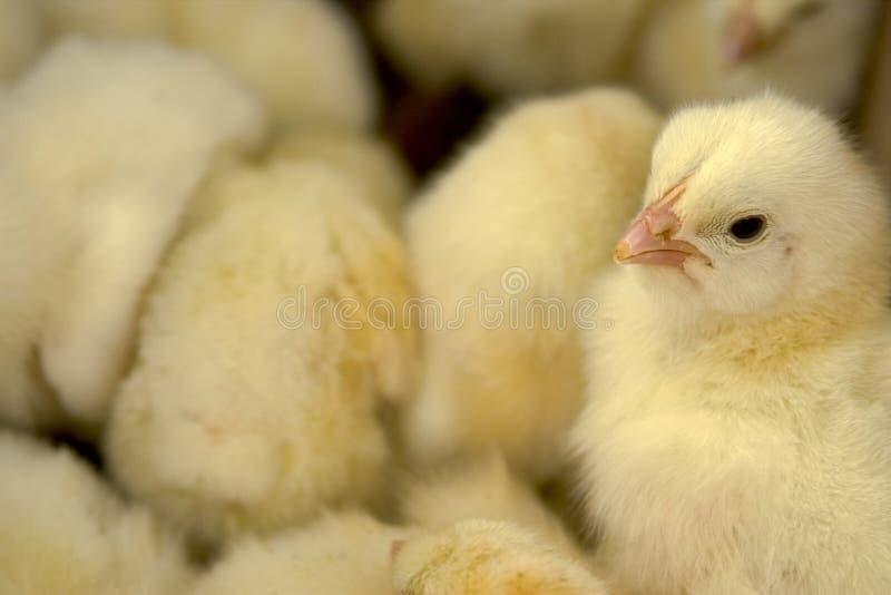 цыпленок коробки младенца стоковые фото