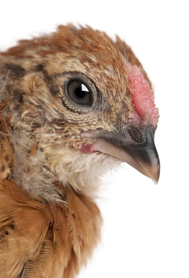 Цыпленок младенца, 23 дней старых, перед белой предпосылкой стоковая фотография
