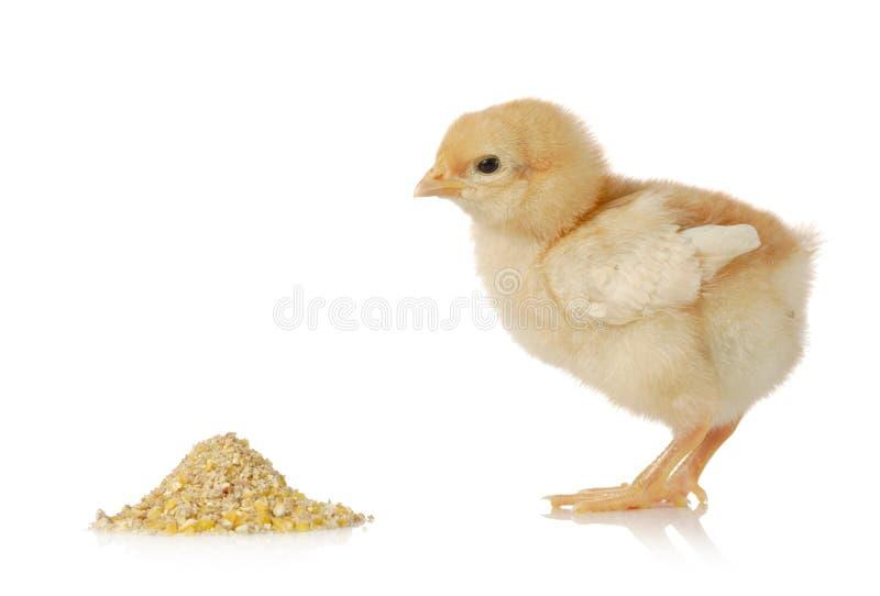 цыпленок младенца имея еду стоковое изображение rf