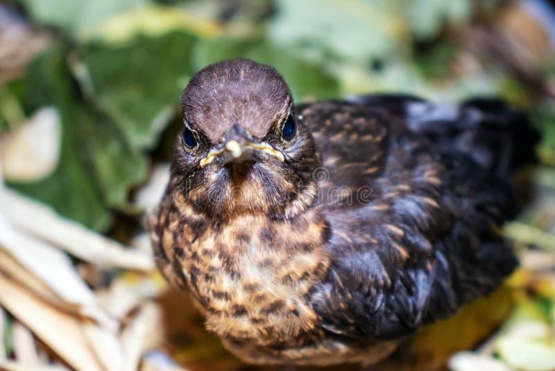 Цыпленок молочницы птицы смотрит в камеру осторожную стоковое изображение