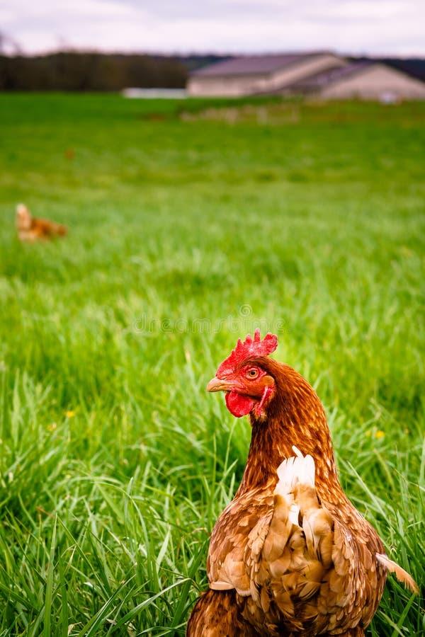 Цыпленок на патруле в filds стоковое фото rf