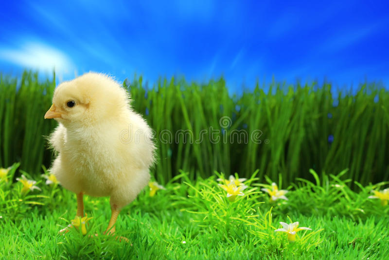 цыпленок пасха малая стоковые фотографии rf
