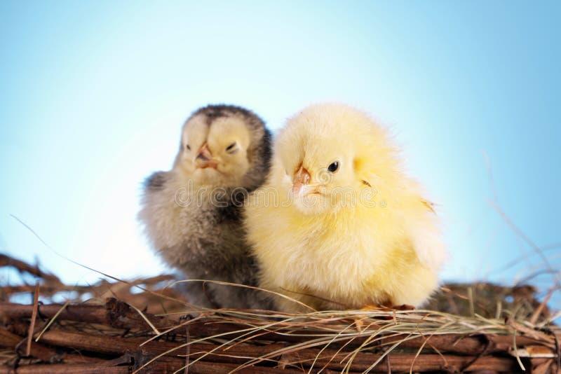 цыпленок пасха стоковое изображение rf