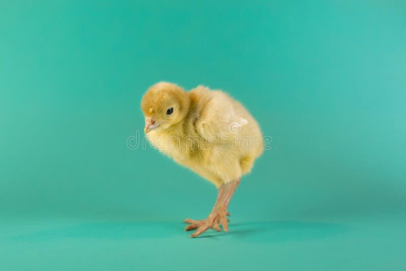 Цыпленок Турции на предпосылке бирюзы стоковые изображения