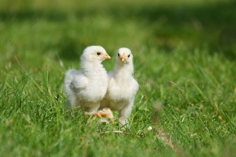 Цыпленок Brahma 2 детенышей стоковое изображение