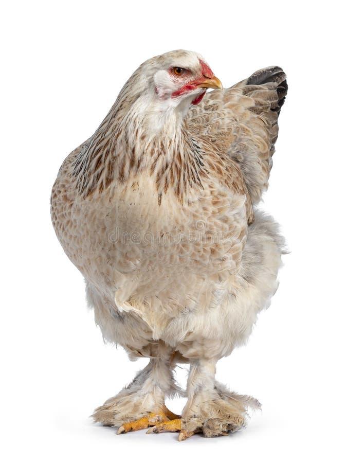 Цыпленок Brahma семг на белизне стоковые изображения rf